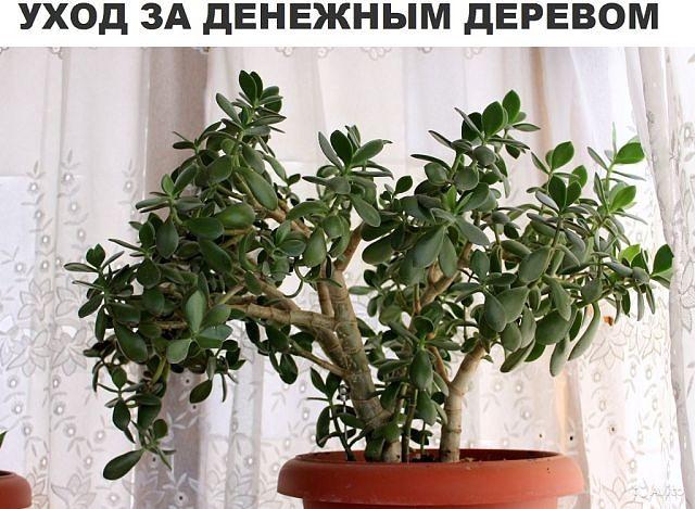 Денежное дерево толстянка крассулаособенности ухода и