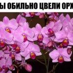 Чтобы обильно цвели орхидеи