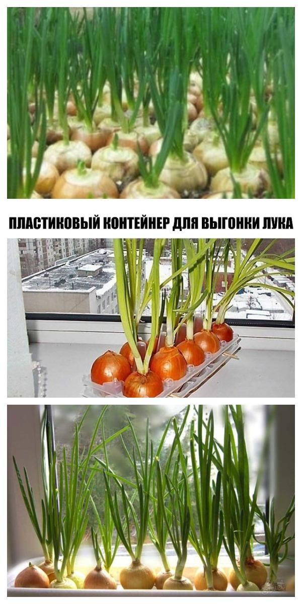 Как вырастить лук на окне зимой. ПЛАСТИКОВЫЙ КОНТЕЙНЕР ДЛЯ ВЫГОНКИ ЛУКА.
