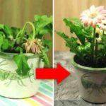 Не спешите выбрасывать цветы! Это удивительное удобрение быстро восстановит здоровье вашего любимого растения