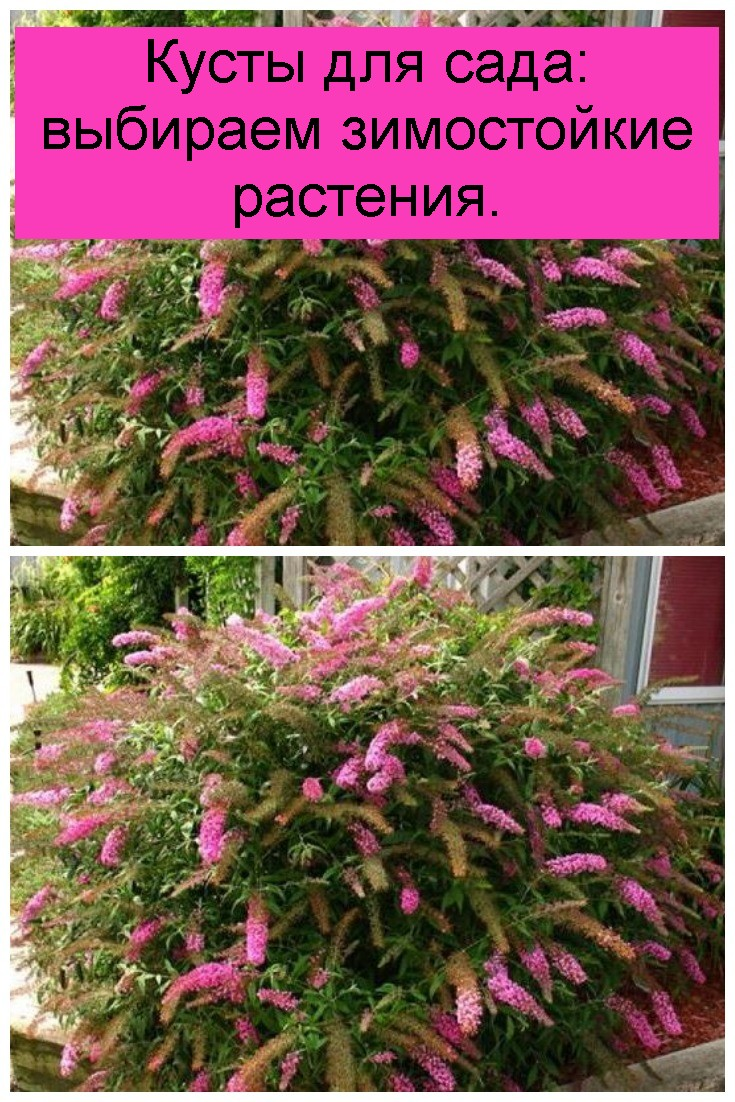 Кусты для сада: выбираем зимостойкие растения 4