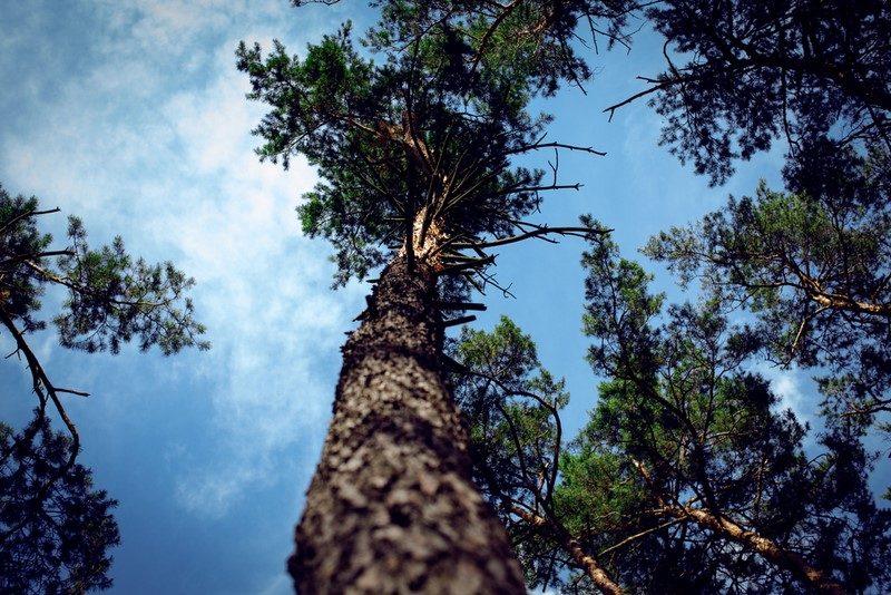 crown-pines