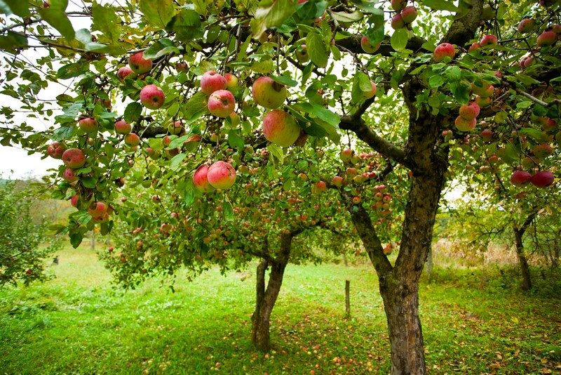 apple-trees-with-red-apples
