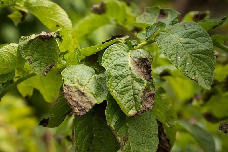 leaves-plant-of-potato-stricken-phytophthora