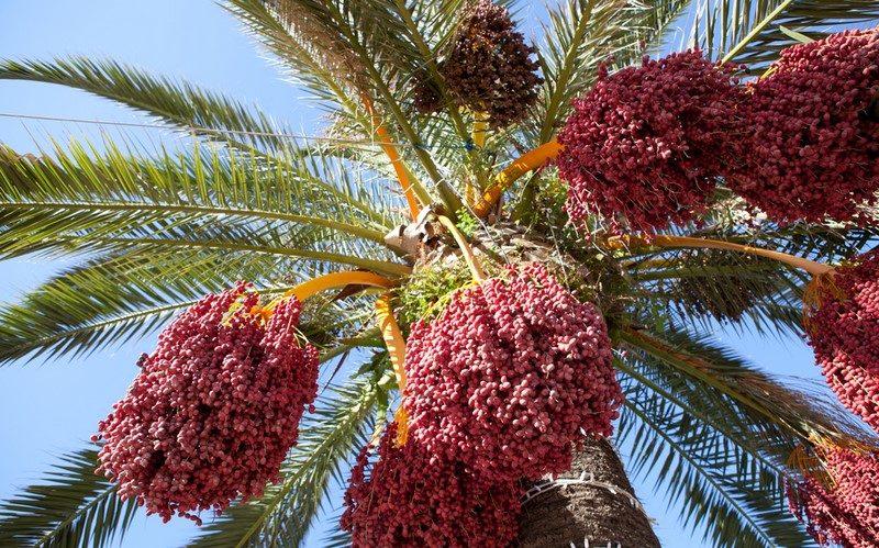 dates-on-tree