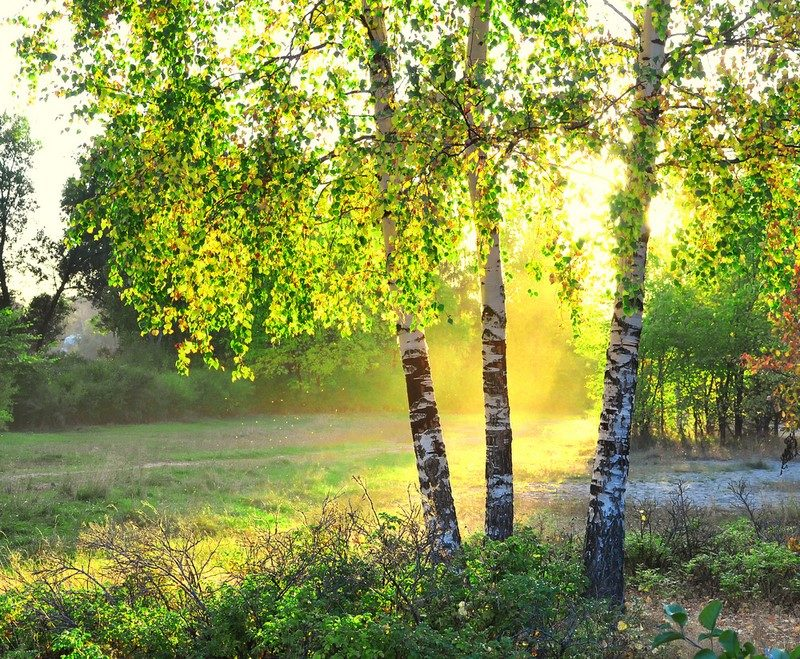 birch-trees-in-a-summer-forest