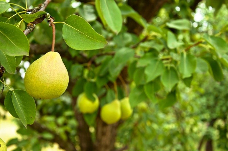 pear-fruit-on-the-tree-in-the-garden