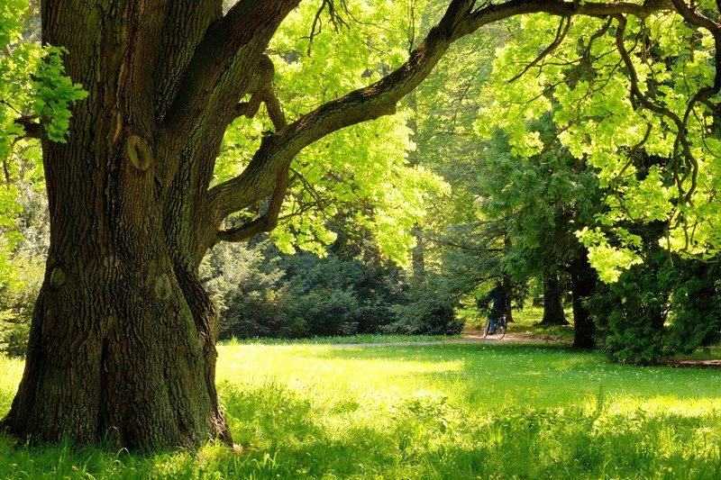 mighty-oak-tree
